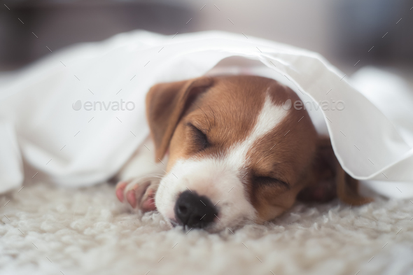 Jack russel terrier puppy - Stock Photo - Images