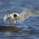 Sandwich tern (Thalasseus sandvicensis) - PhotoDune Item for Sale