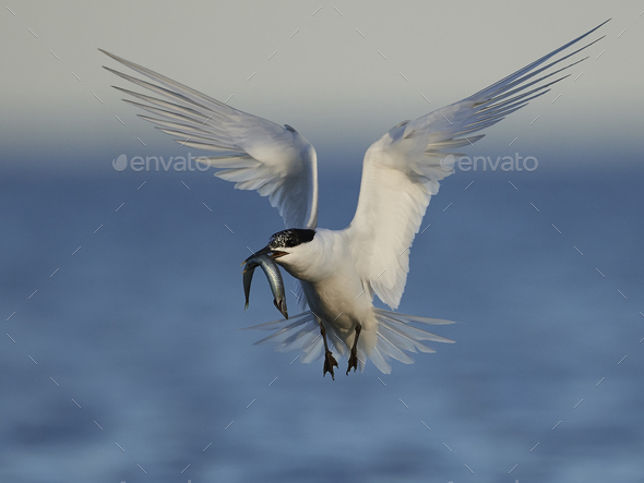 Sandwich tern (Thalasseus sandvicensis) - Stock Photo - Images
