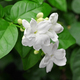 jasmine tea flower, arabian jasmine, jasminum sambac - PhotoDune Item for Sale