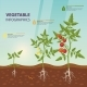 Tomato Infographic for Growing Stages - GraphicRiver Item for Sale