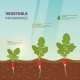 Radish Infographics with Growth Stages - GraphicRiver Item for Sale
