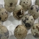Automatic Capture Puts Quail Eggs in a Tray, Where Are the Other Eggs for Incubation - VideoHive Item for Sale