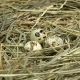Man Takes Quail Eggs From the Nest Made of Hay - VideoHive Item for Sale