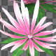 Pink Flower - VideoHive Item for Sale