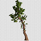 Coniferous Tree With A Crooked Trunk - VideoHive Item for Sale