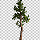 Coniferous Tree With Branches - VideoHive Item for Sale