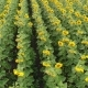 Sunflower on the Field Aerial View Along the Rows Flight a Lot of Plants - VideoHive Item for Sale