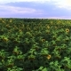 Fly Over Beautiful Sunflower Field in Ukraine - VideoHive Item for Sale
