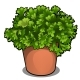 Lush Bush of Parsley in a Pot