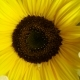 Top View of Amazing Spreading of Paint on Sunflower Against Black Background - VideoHive Item for Sale