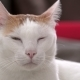 Portrait of White and Ginger Drowsy Domestic Cat - VideoHive Item for Sale