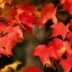 Bright Red Autumn Maple Leaves - VideoHive Item for Sale