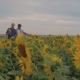 Two Friend Farmer Rancher ,Funny Around Situation on the Sunflower Field. Partner Farmers Men - VideoHive Item for Sale