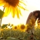 Cute Child Girl in Yellow Garden of Sunflowers Sunlight in Summer. Beautiful Sunset Little Girl in - VideoHive Item for Sale