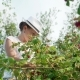 Young Woman Harvesting Fresh, Red Raspberries on the Garden - VideoHive Item for Sale