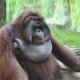 Big Orangutan on a Green Grass - VideoHive Item for Sale