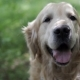 Golden Retriever Breathes - VideoHive Item for Sale