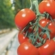 Fresh Tomatoes Are on a Plant - VideoHive Item for Sale