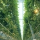 Tomatoes Grow in a Greenhouse - VideoHive Item for Sale