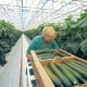 A Worker Looking for Cucumbers on Plants - VideoHive Item for Sale