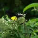Common Birdwing Butterfly (Troides Helena) Collecting Nectar From Flowers - VideoHive Item for Sale