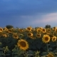 Sunflower Field on the Background of the Pre-Throat Sunset Sky - VideoHive Item for Sale