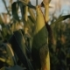Sunset Over the Corn Field. Corn in the Sun - VideoHive Item for Sale
