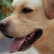 Beautiful Adult Golden Labrador Dog. Doggy Smiling. He's Feeling Hot at Summer - VideoHive Item for Sale