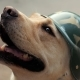 Beautiful Adult Golden Labrador Dog in Military Helmet. Doggy Smiling. He's Feeling Hot at Summer - VideoHive Item for Sale
