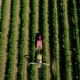 Aerial View of a Tractor Harvesting Grapes in a Vineyard - VideoHive Item for Sale