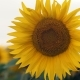 A  Plan Wandering the Sunflower Growing on the Field - VideoHive Item for Sale