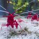Fire cleaner shrimp, Lysmata debelius. - PhotoDune Item for Sale