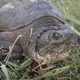 Common snapping turtle, Chelydra serpentina, - PhotoDune Item for Sale