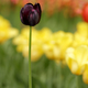 Spring black tulip flower - PhotoDune Item for Sale