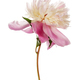 Pink peony flower - PhotoDune Item for Sale