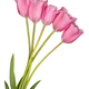 Pink tulip flowers bouquet - PhotoDune Item for Sale