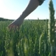of Male Hand Moving Over Wheat Growing on the Meadow on Sunny Summer Day. Young Farmer Walking - VideoHive Item for Sale