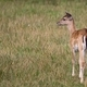 Young Fallow deer in a clearing  - PhotoDune Item for Sale
