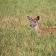 Young Fallow deer resting in a clearing  - PhotoDune Item for Sale