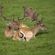 Fallow deer resting in a clearing  - PhotoDune Item for Sale