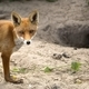 Fox in a clearing, a portrait  - PhotoDune Item for Sale