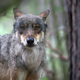 Wolf in the forest, a portrait  - PhotoDune Item for Sale