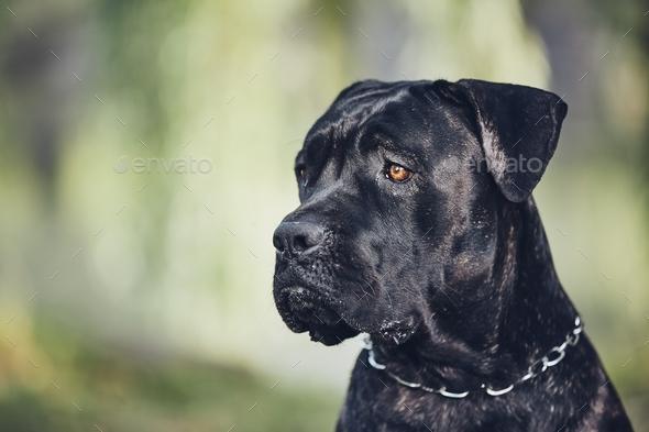 Portrait Of Cane Corso Dog Stock Photo By Chalabala Photodune