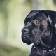 Portrait of cane corso dog - PhotoDune Item for Sale