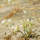 Mediterranean Pancratium sand lily white flowers. - PhotoDune Item for Sale