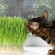 Domestic cat eating green grass - PhotoDune Item for Sale
