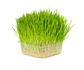 Fresh grass for cats in plastic box isolated on white - PhotoDune Item for Sale