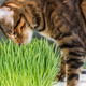 Cat sniffing and eating green grass - PhotoDune Item for Sale