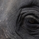 Eye of Asian Elephant (Elephas Maximus).  View - VideoHive Item for Sale